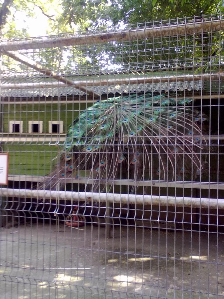 Paun - Gradina Zoologica Oradea